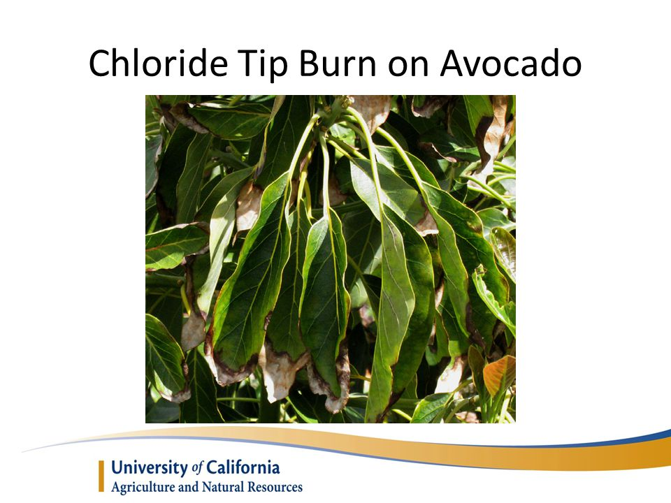 Chloride Tip Burn on Avocado