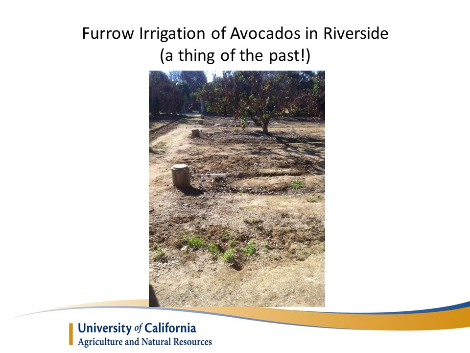 Furrow Irrigation of Avocados in Riverside (a thing of the past!)