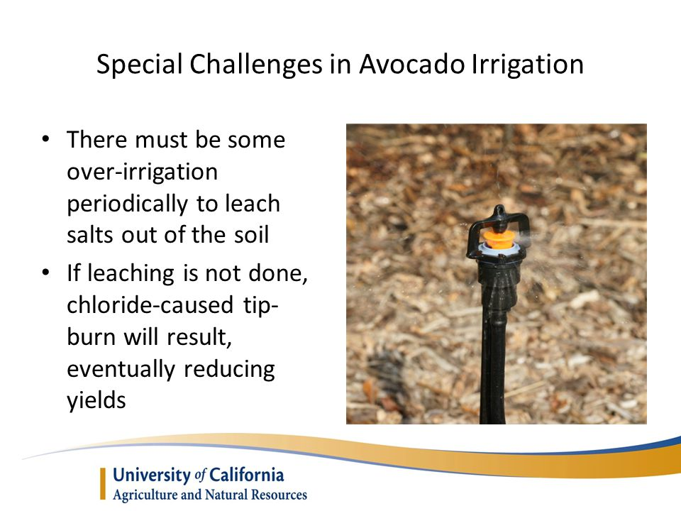 Special Challenges in Avocado Irrigation