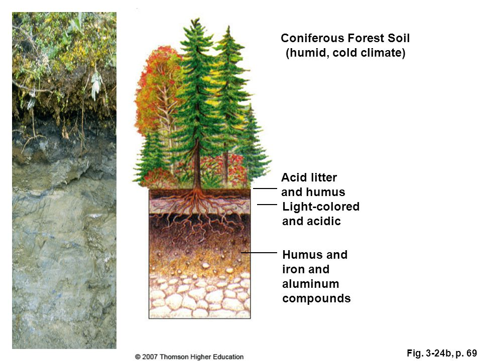 Coniferous Forest Soil