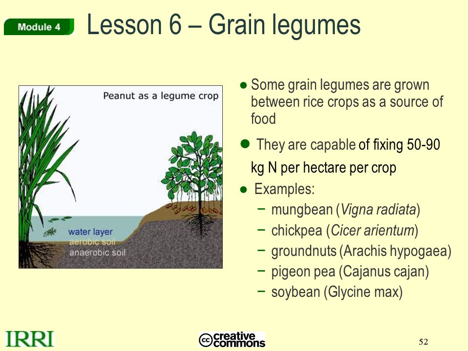 Lesson 6 – Grain legumes Some grain legumes are grown between rice crops as a source of food.
