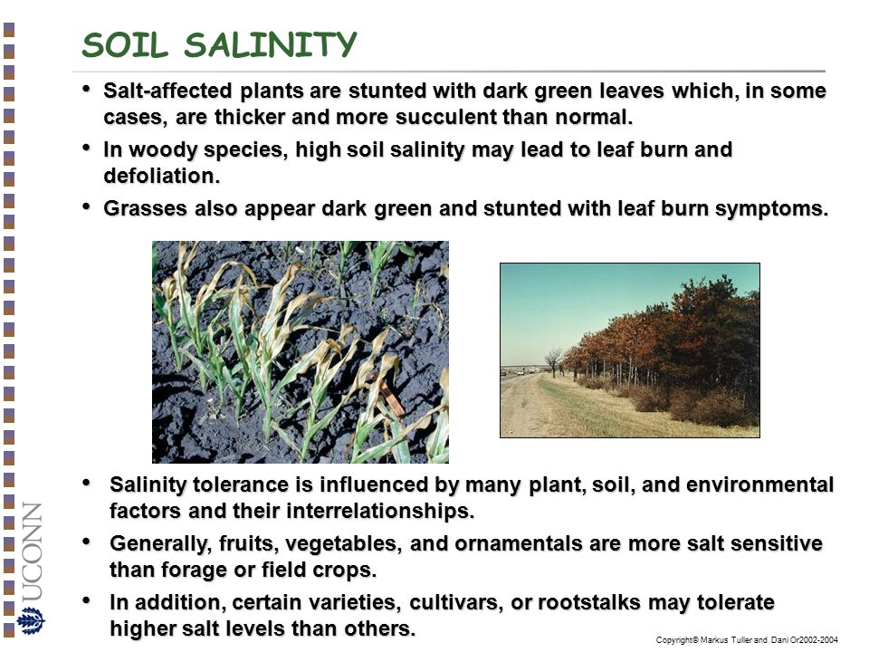 SOIL SALINITY Salt-affected plants are stunted with dark green leaves which, in some cases, are thicker and more succulent than normal.