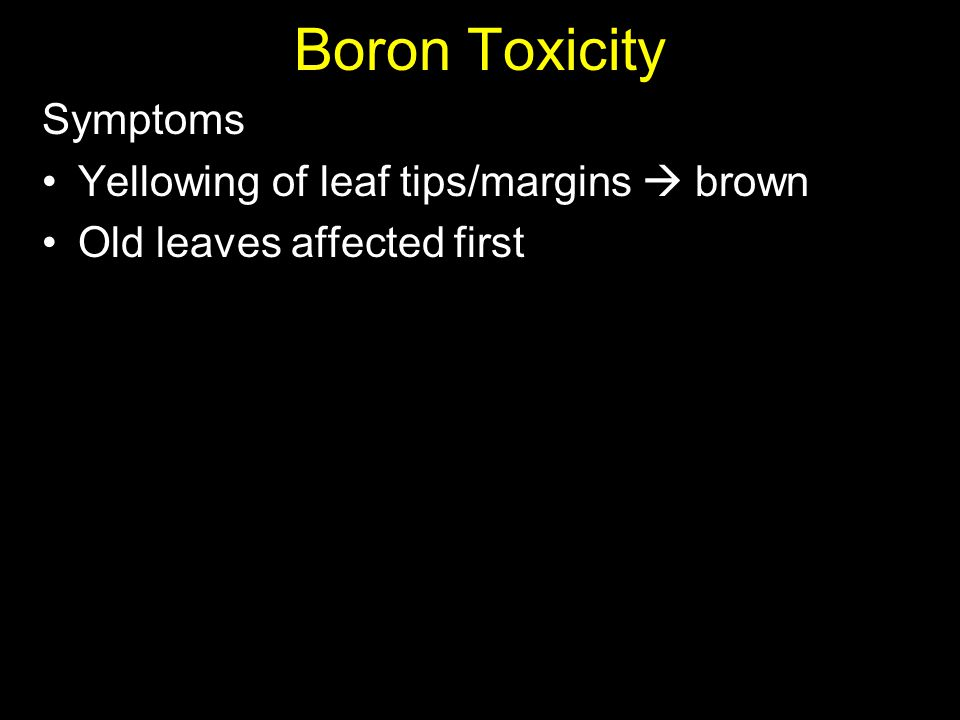 Boron Toxicity Symptoms Yellowing of leaf tips/margins  brown