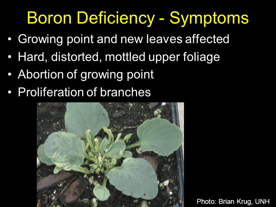 Boron Deficiency - Symptoms
