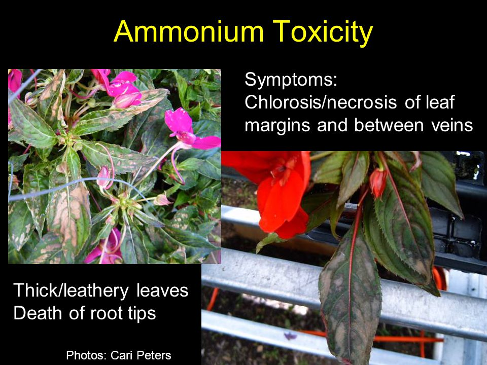Ammonium Toxicity Symptoms: