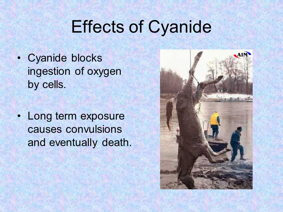 Effects of Cyanide Cyanide blocks ingestion of oxygen by cells.
