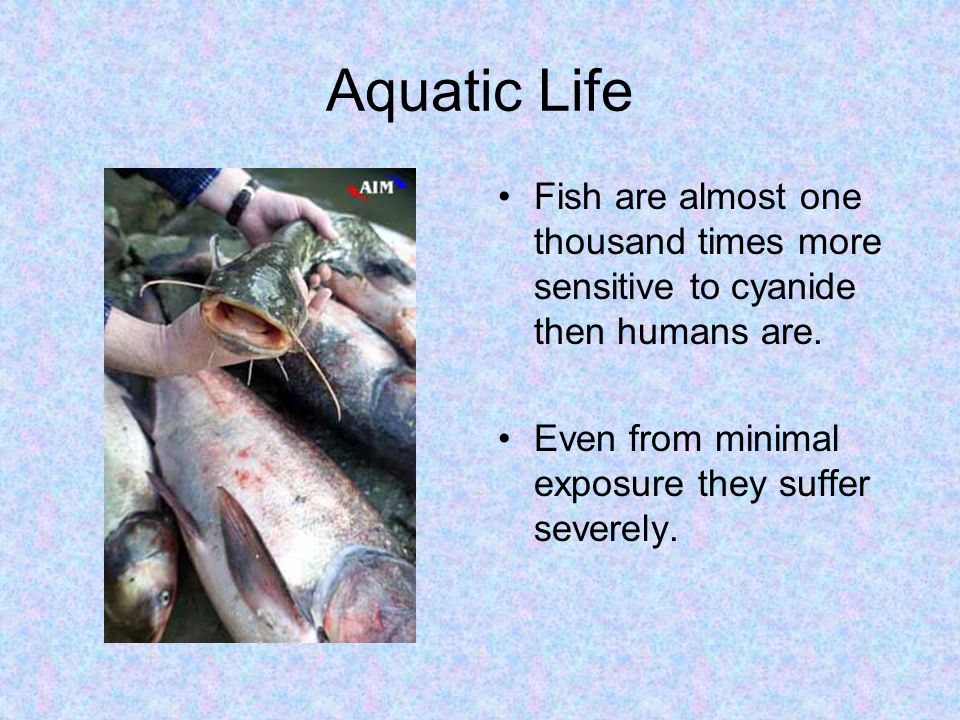 Aquatic Life Fish are almost one thousand times more sensitive to cyanide then humans are. Even from minimal exposure they suffer severely.