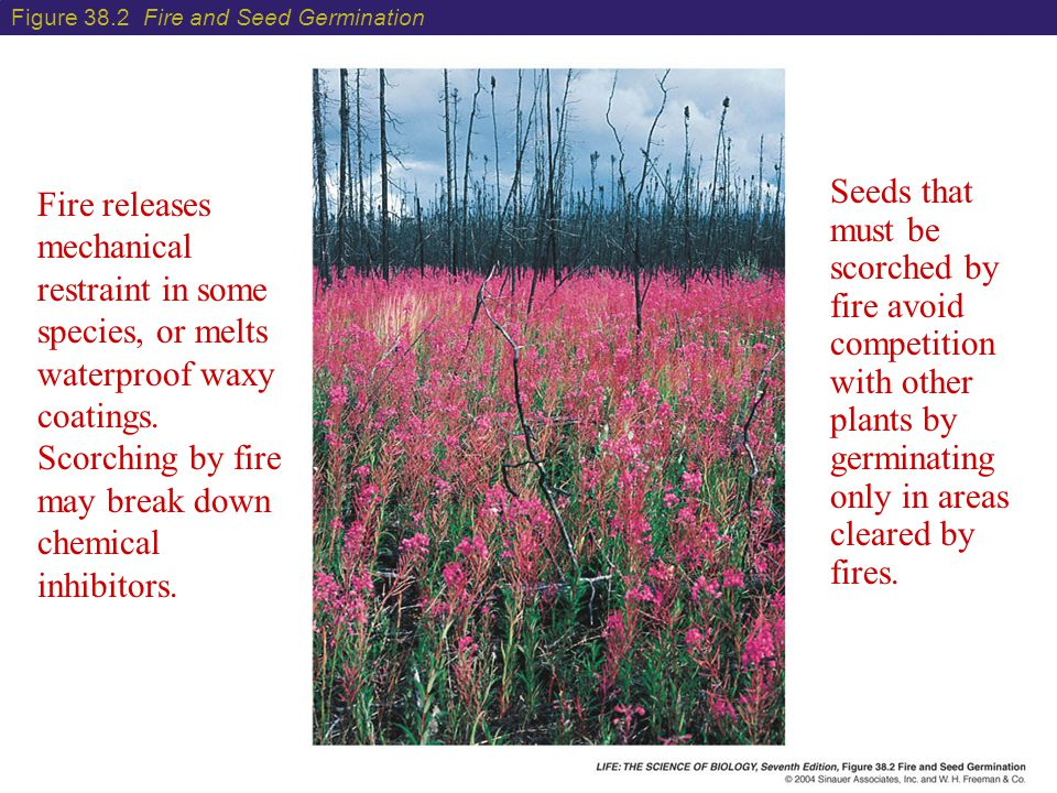 Figure 38.2 Fire and Seed Germination