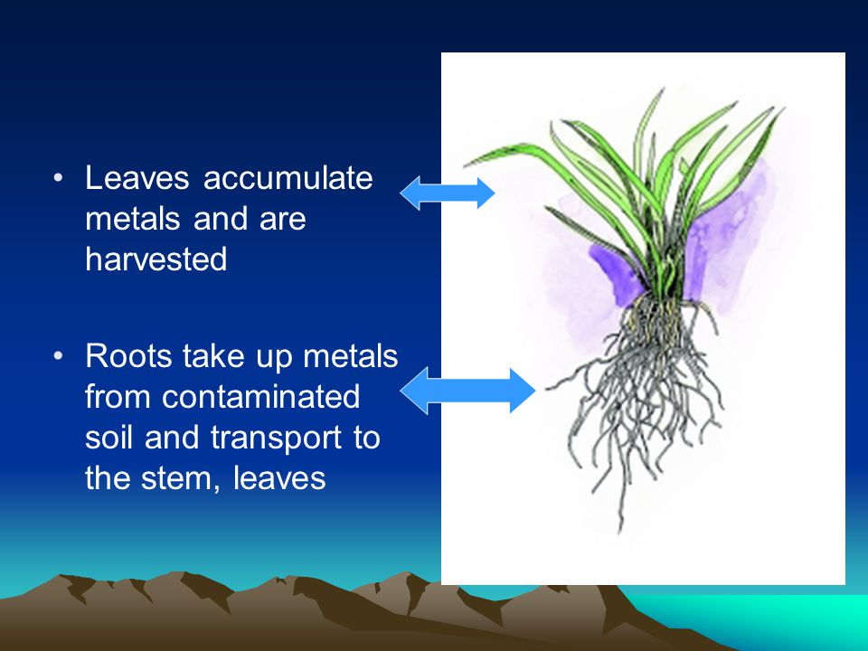 Leaves accumulate metals and are harvested