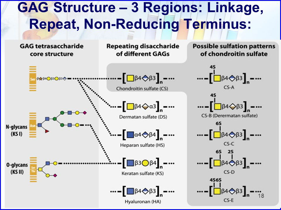 GAG Structure – 3 Regions: Linkage, Repeat, Non-Reducing Terminus: