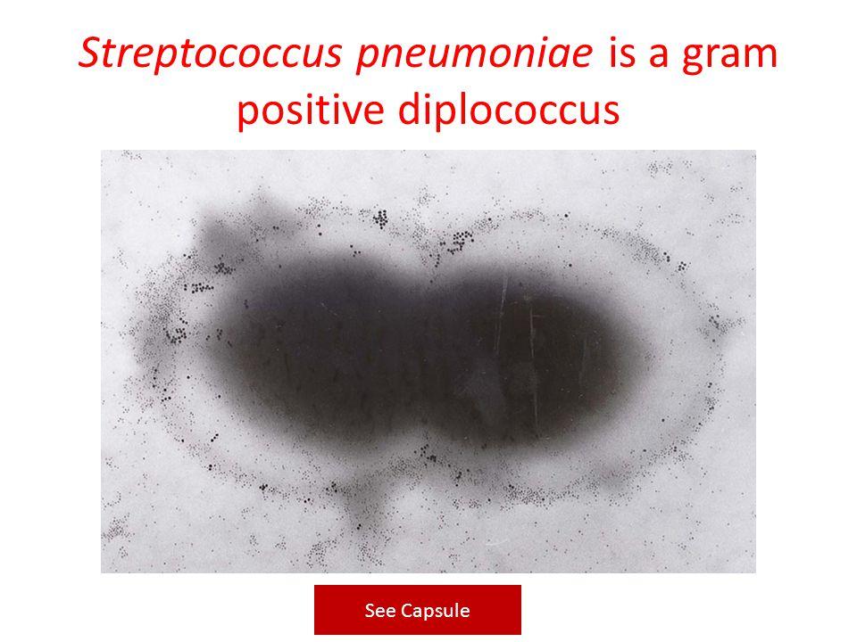Streptococcus pneumoniae is a gram positive diplococcus