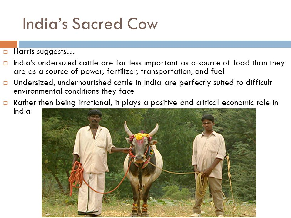 India's Sacred Cow Harris suggests…