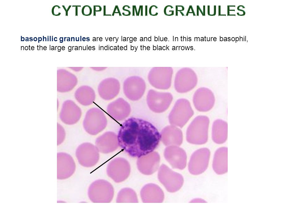 CYTOPLASMIC GRANULES basophilic granules are very large and blue.