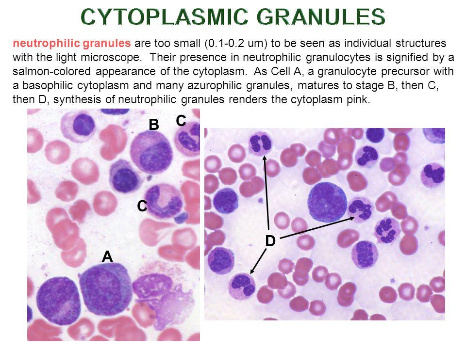 CYTOPLASMIC GRANULES C B C D A