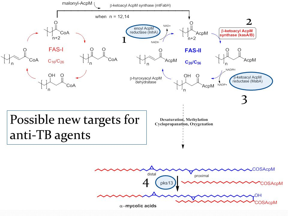 2 1 3 Possible new targets for anti-TB agents 4