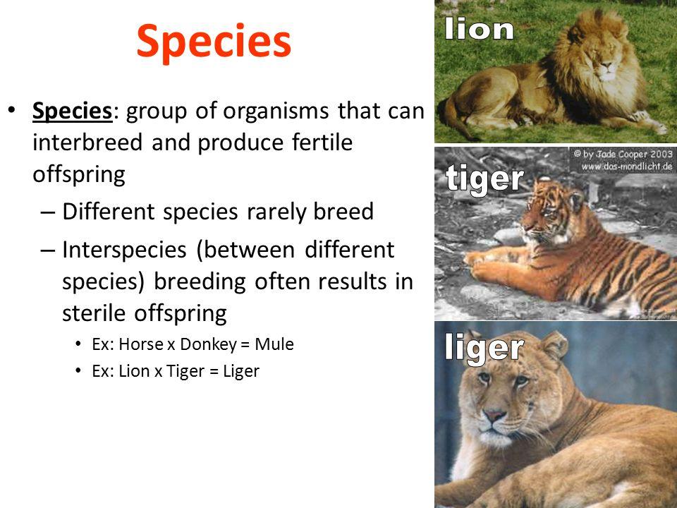 Species lion tiger liger