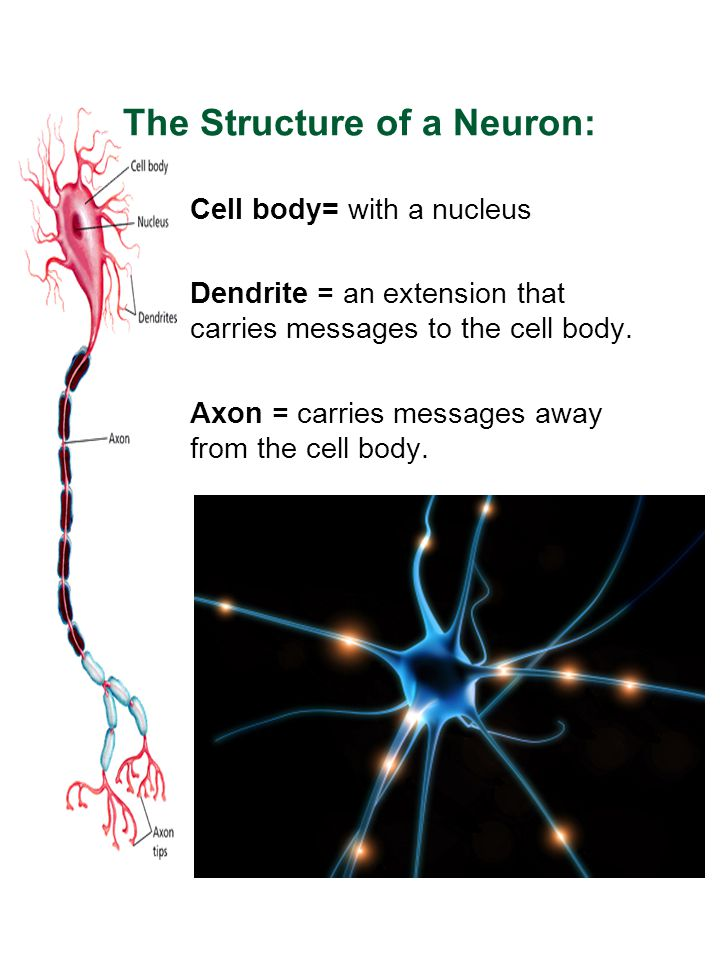 The Structure of a Neuron: