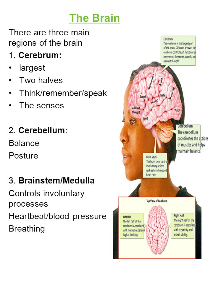 The Brain There are three main regions of the brain 1. Cerebrum: