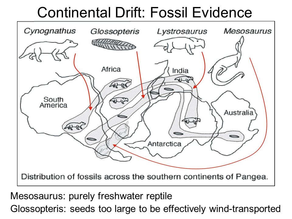 continental drift theory fossil evidence the image kid has it. Black Bedroom Furniture Sets. Home Design Ideas