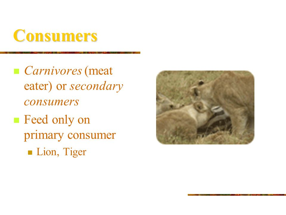 Consumers Carnivores (meat eater) or secondary consumers
