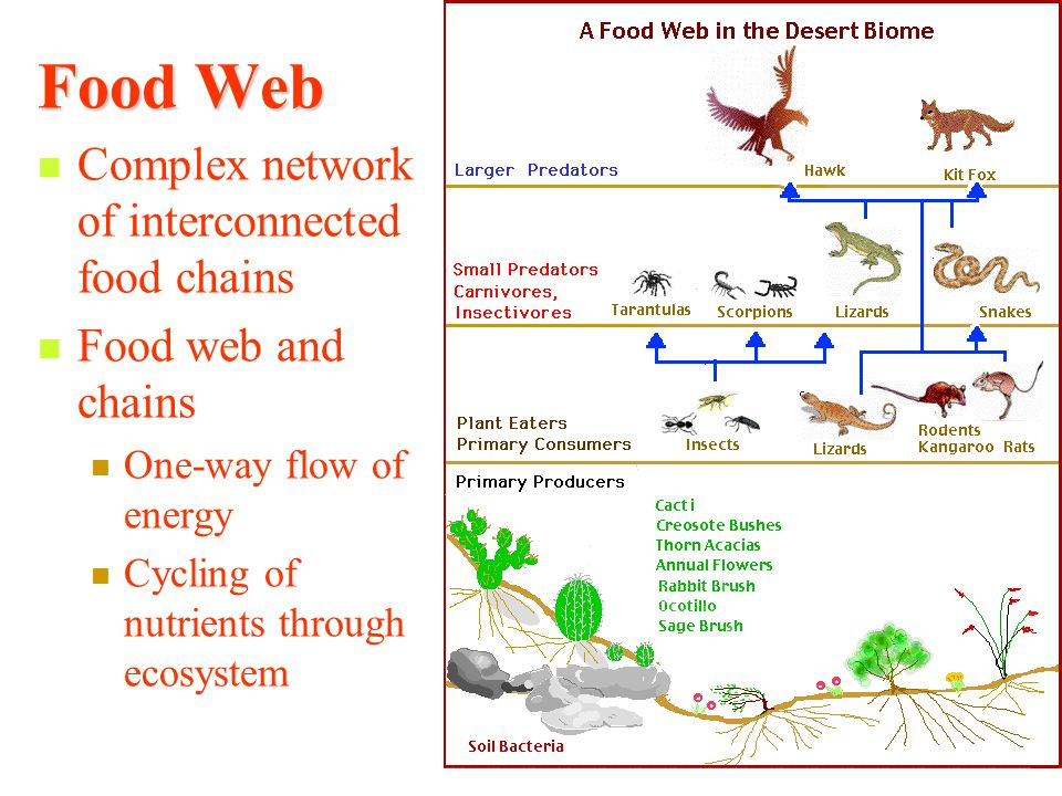 Food Web Complex network of interconnected food chains