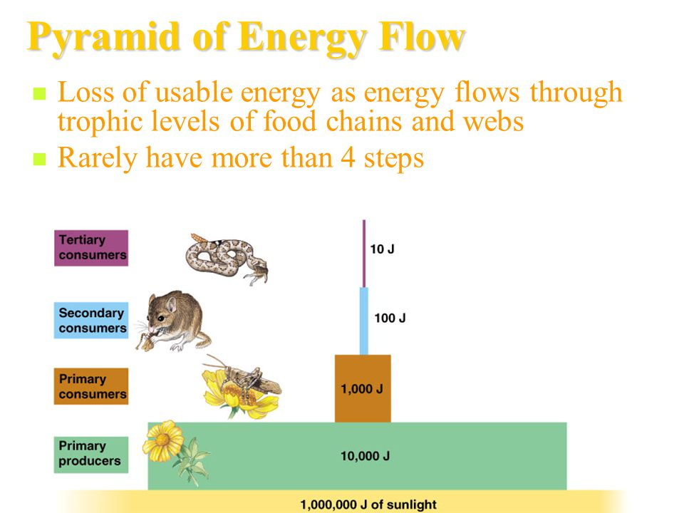 Pyramid of Energy Flow Loss of usable energy as energy flows through trophic levels of food chains and webs.