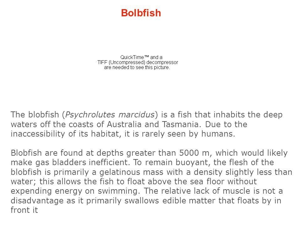 Bolbfish