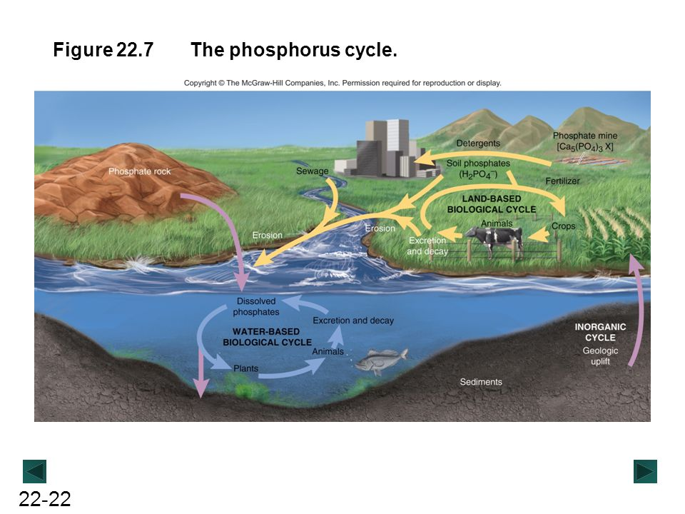 Figure 22.7 The phosphorus cycle.