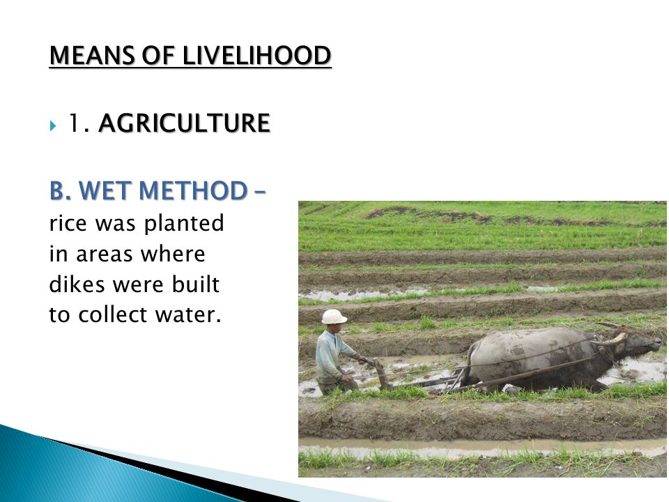 MEANS OF LIVELIHOOD 1. AGRICULTURE B. WET METHOD – rice was planted