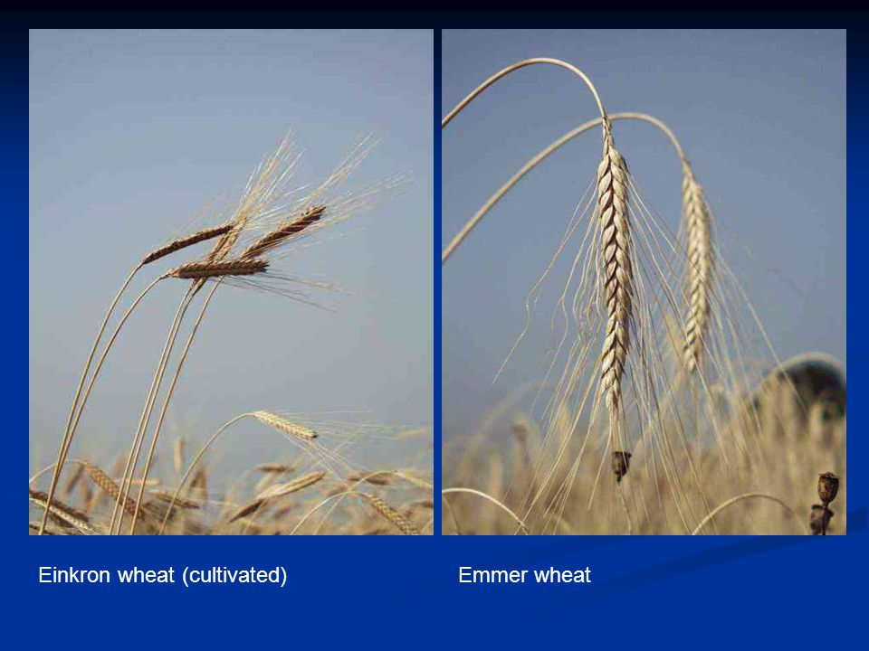 Einkron wheat (cultivated)