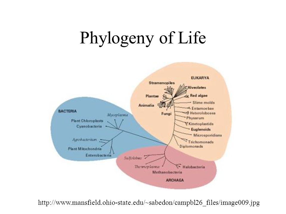 Phylogeny of Life http://www.mansfield.ohio-state.edu/~sabedon/campbl26_files/image009.jpg
