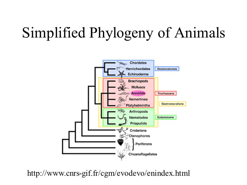 Simplified Phylogeny of Animals