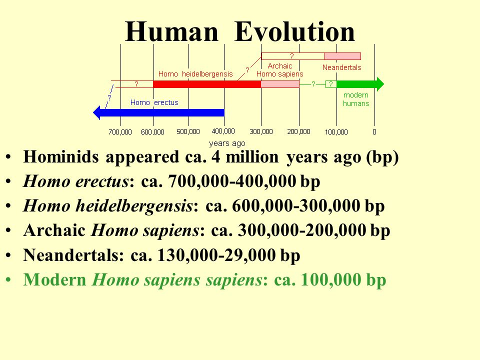Human Evolution Hominids appeared ca. 4 million years ago (bp)