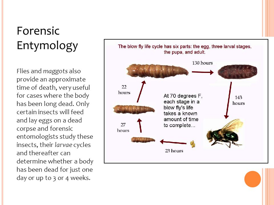 Forensic Entymology Flies and maggots also provide an approximate time of death, very useful for cases where the body has been long dead.