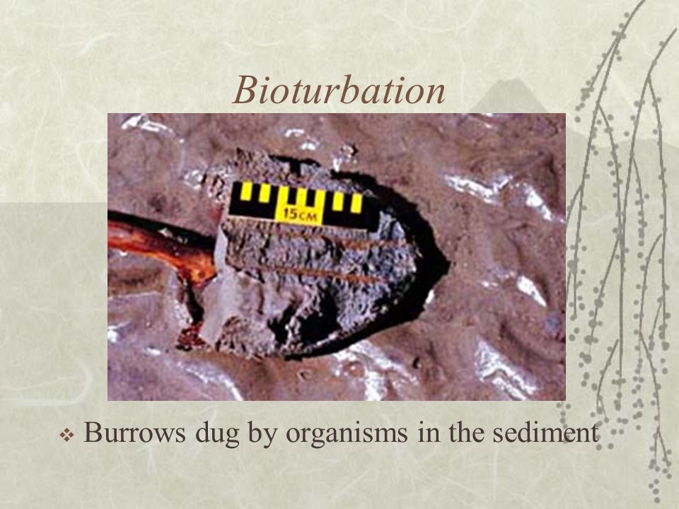 Bioturbation Burrows dug by organisms in the sediment