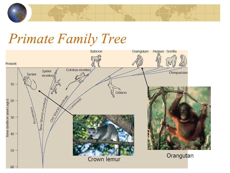 Primate Family Tree Orangutan Crown lemur