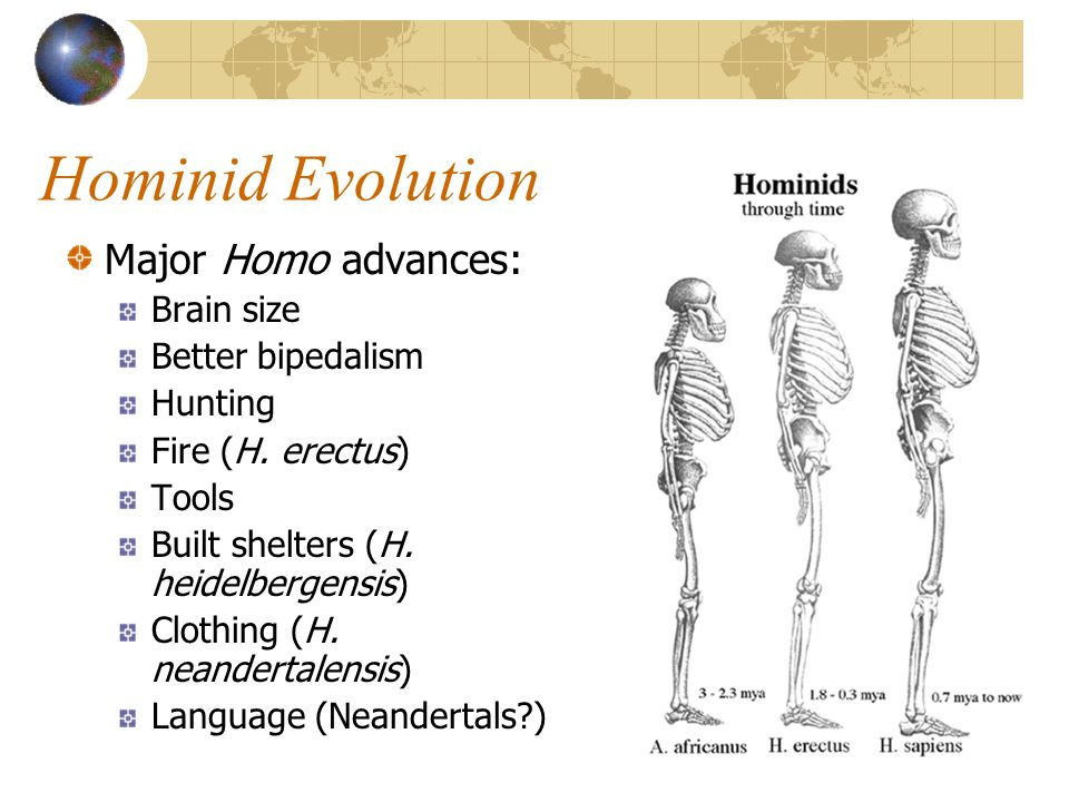Hominid Evolution Major Homo advances: Brain size Better bipedalism