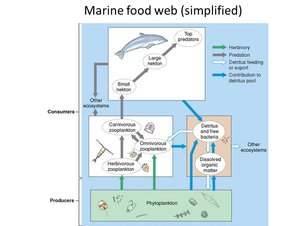Marine food web (simplified)