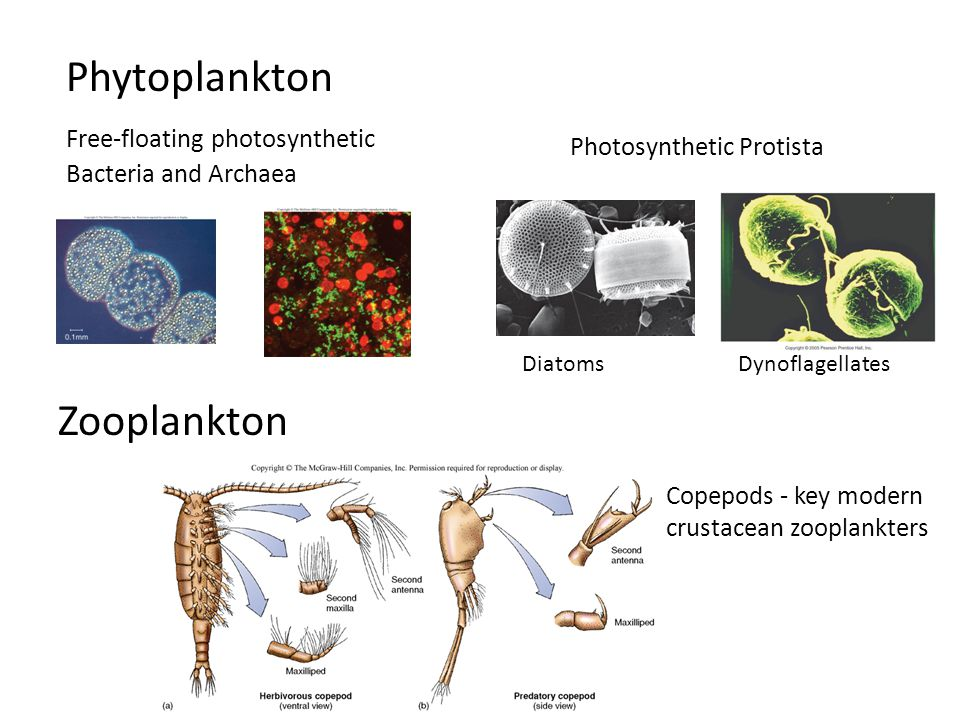 Phytoplankton Zooplankton Free-floating photosynthetic