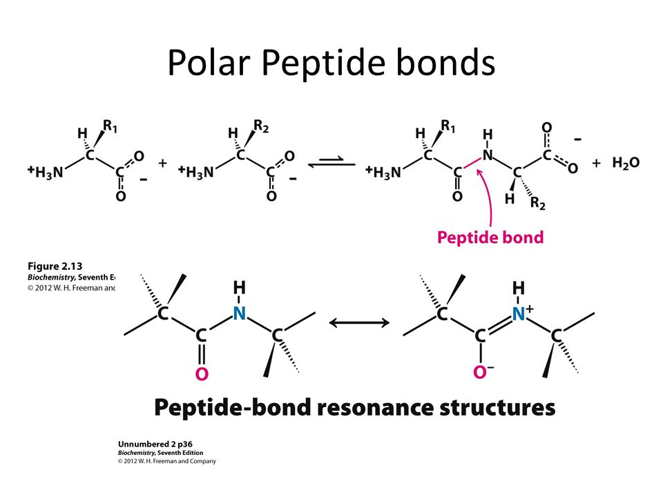 Polar Peptide bonds