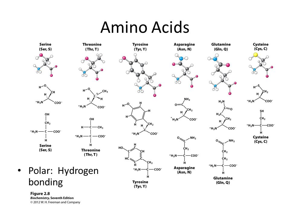 Amino Acids Polar: Hydrogen bonding