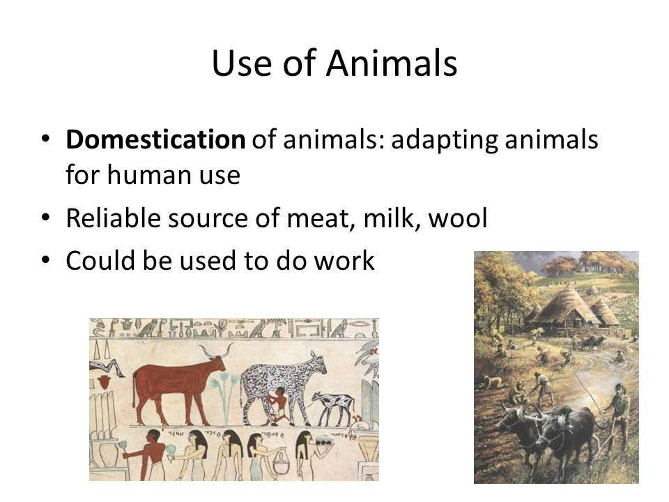 Use of Animals Domestication of animals: adapting animals for human use. Reliable source of meat, milk, wool.