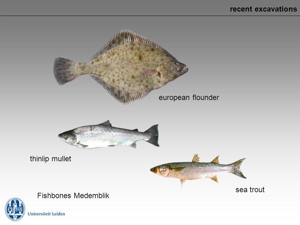 recent excavations european flounder thinlip mullet sea trout Fishbones Medemblik