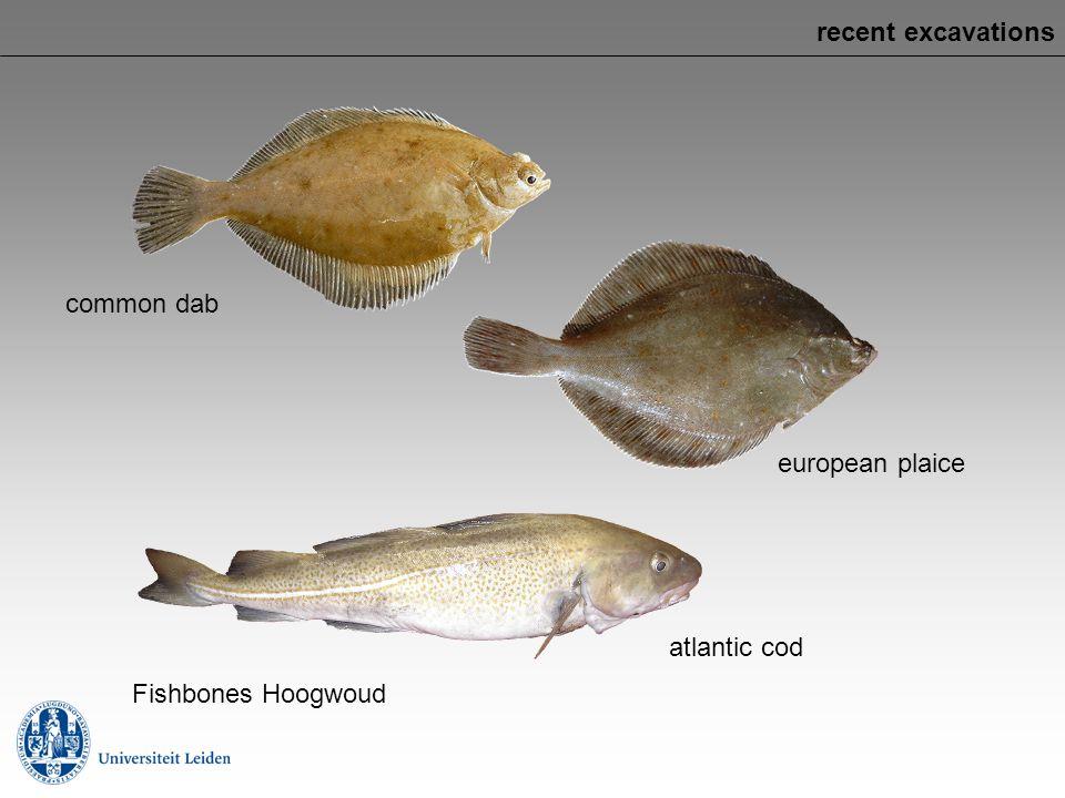 recent excavations common dab european plaice atlantic cod Fishbones Hoogwoud