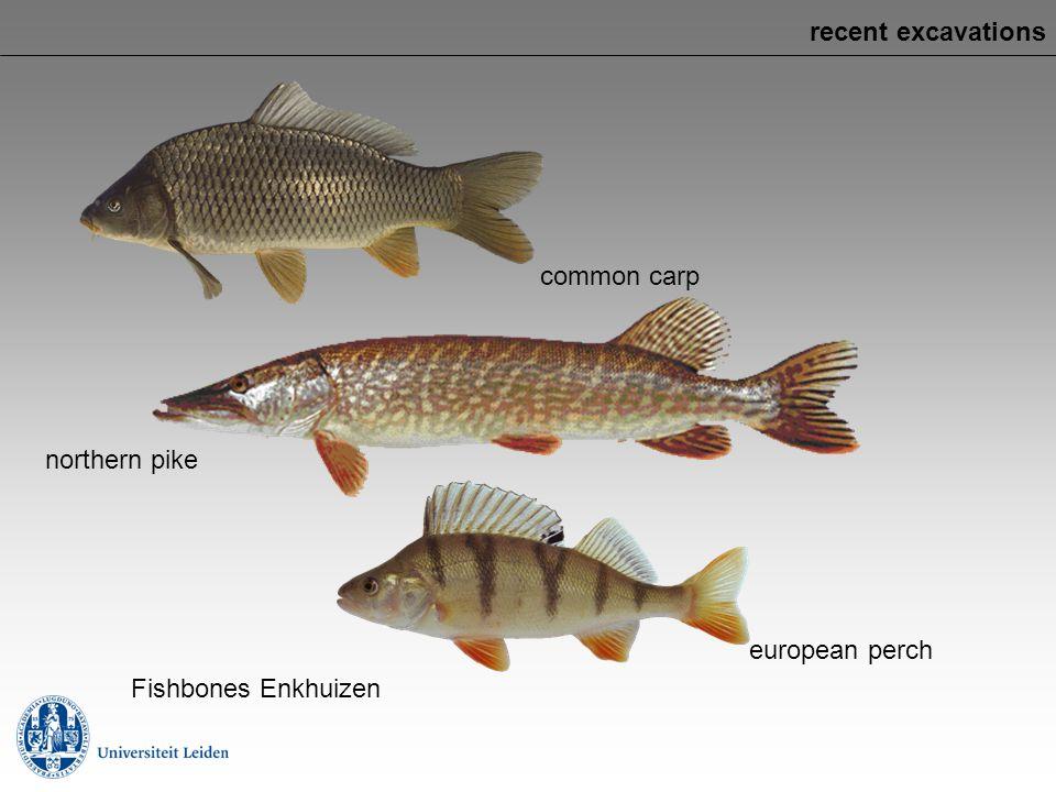 recent excavations common carp northern pike european perch Fishbones Enkhuizen