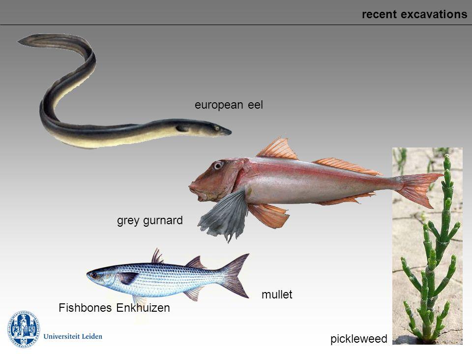 recent excavations european eel grey gurnard mullet Fishbones Enkhuizen pickleweed