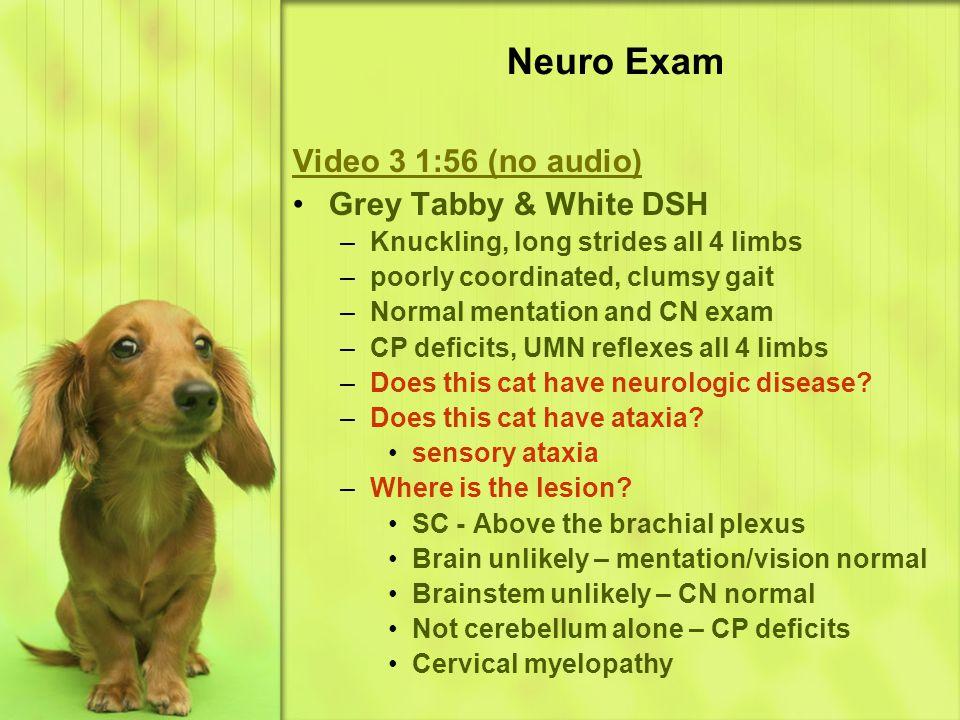 Neuro Exam Video 3 1:56 (no audio) Grey Tabby & White DSH