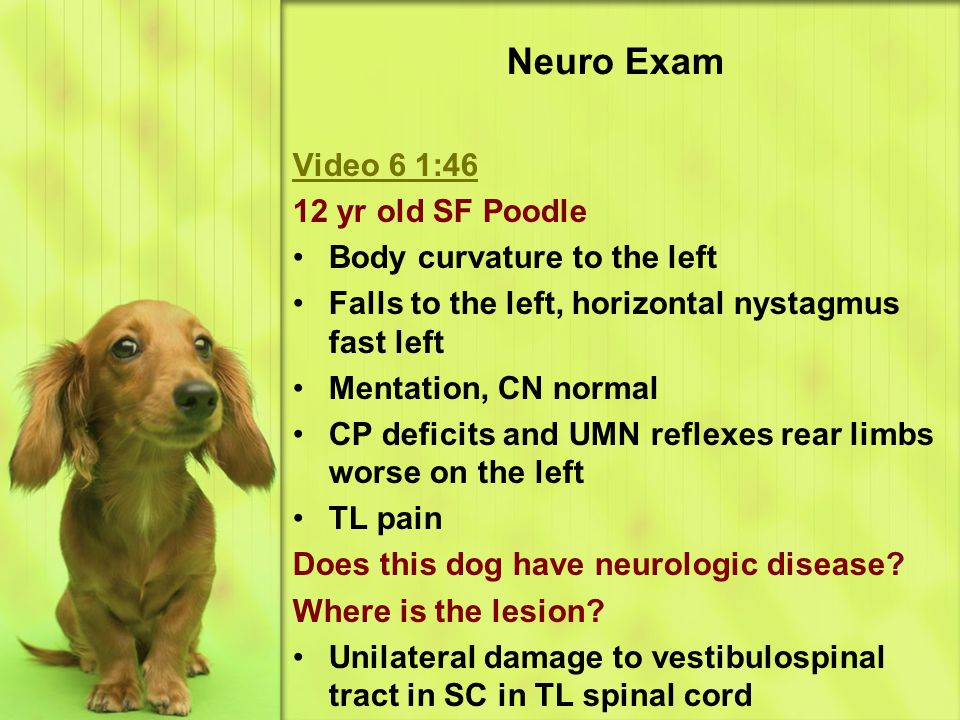 Neuro Exam Video 6 1:46 12 yr old SF Poodle Body curvature to the left
