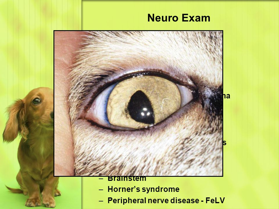 Neuro Exam Eye & Ear – Iris & Pupil Hippus Hemidilated pupil (cat)