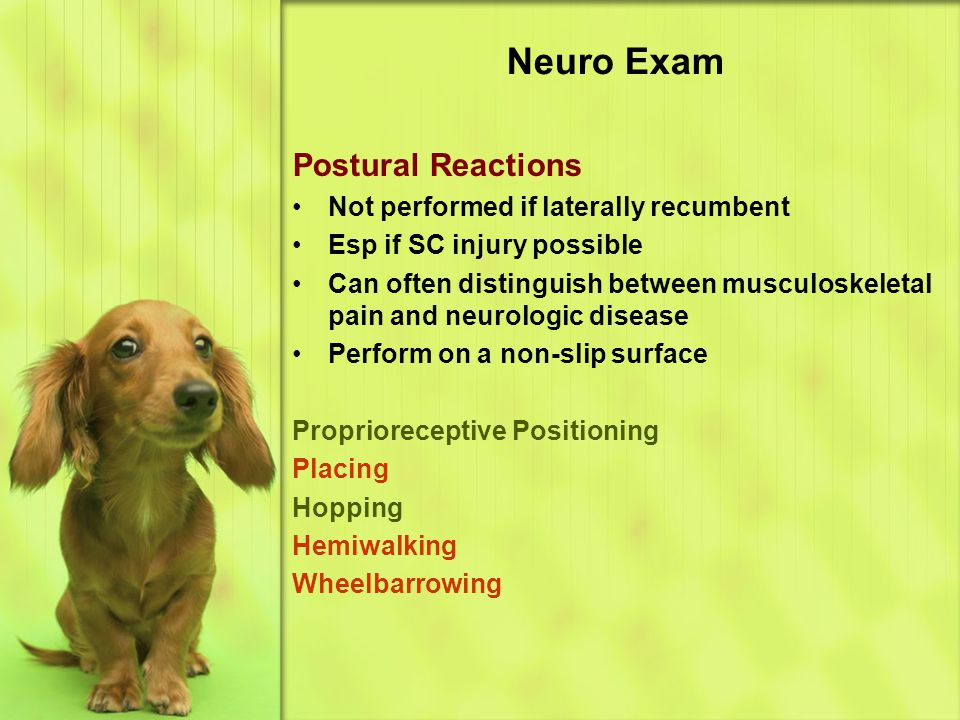 Neuro Exam Postural Reactions Not performed if laterally recumbent